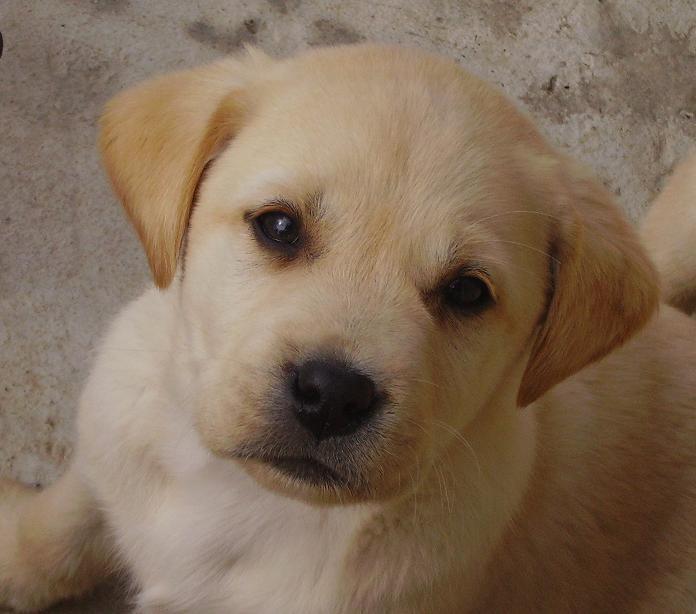 Très Les Labradors de La Sauvagette ZI43